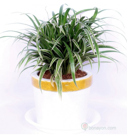 Spider Plant With White Pot (Terracotta)